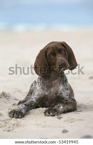 German Shorthair Pointer Puppy - stock photo