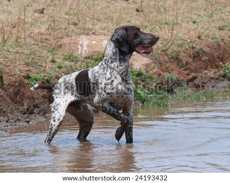 Short Haired German Pointer. short hair pointer dog in