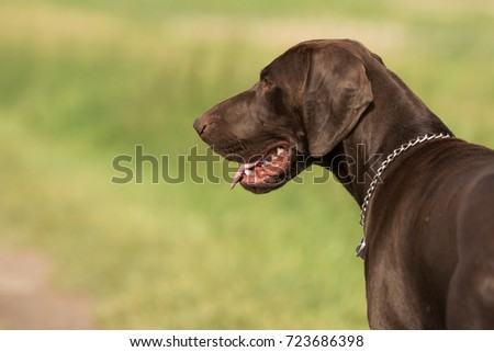 German Shorthaired Pointer #723686398