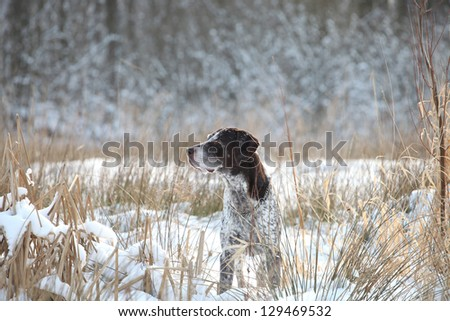 German Shorthaired Pointer a winter portrait