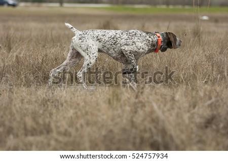 German Shorthaired Pointer dog in grass #524757934
