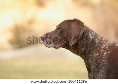 German shorthaired pointer dog outside #100411396
