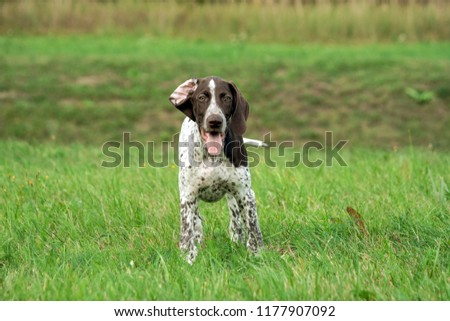german shorthaired pointer, kurtshaar one brown spotted puppy stands on the field, in the background a ravine and green grass, eyes look directly into the camera, one ear curled back, a cute and funny #1177907092