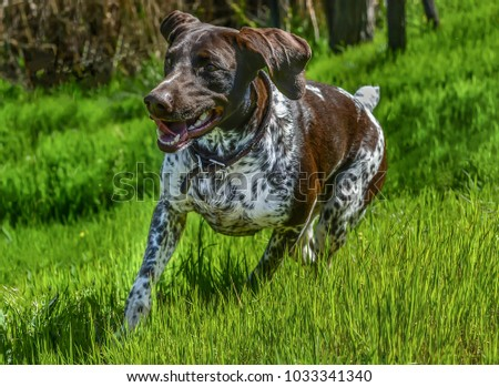 German shorthaired pointer (kurzhaar) running in a park. Horizontal full-length portrait, outdoor