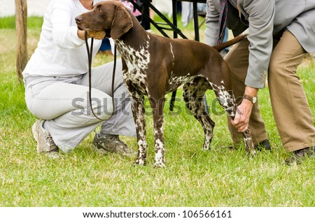 German shorthaired pointer standing obediently whilst being judged at dog show.