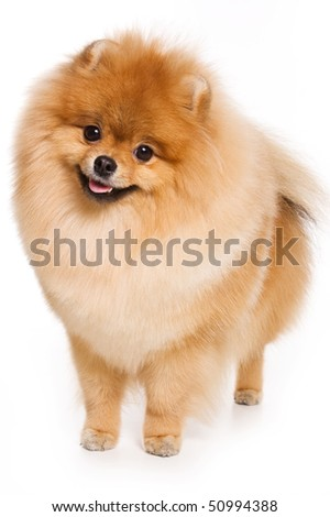 German Spitz dog on white background