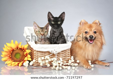 German Spitz dog with Devon Rex cats on a grey background