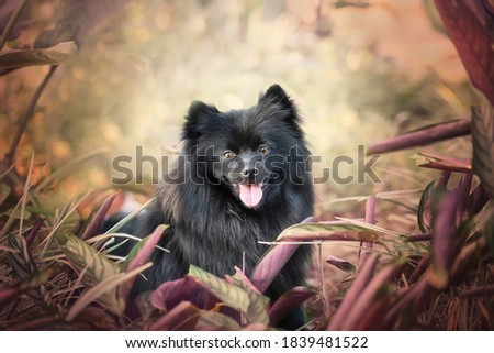 German spitz medium black cute Photo stock ©