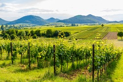 German vineyards landscape in summer, Rhineland-Palatinate, Germany. Deutsche Weinstrasse (German Wine Road) Vineyard Palatinate region.