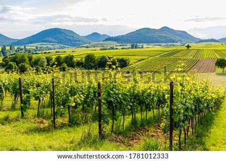German vineyards landscape in summer, Rhineland-Palatinate, Germany. Deutsche Weinstrasse (German Wine Road) Vineyard Palatinate region. Stock foto ©