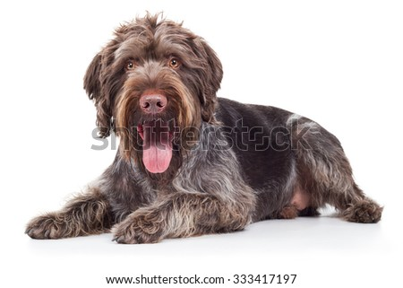 German Wirehaired Pointer dog lying on floor #333417197