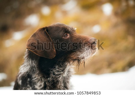 german wirehaired pointer portrait #1057849853