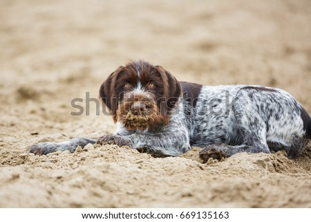 German Wirehaired Pointer puppy is lying on the sand #669135163