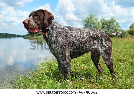 German wirehaired pointer standing on the river