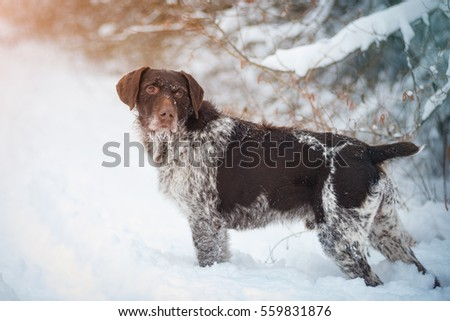 German Wirehaired Pointers in the snow #559831876
