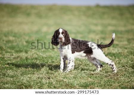 Germany,Bavaria,English Springer Spaniel on grass #299175473