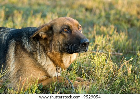 Germany Sheep-dog laying in the green grass