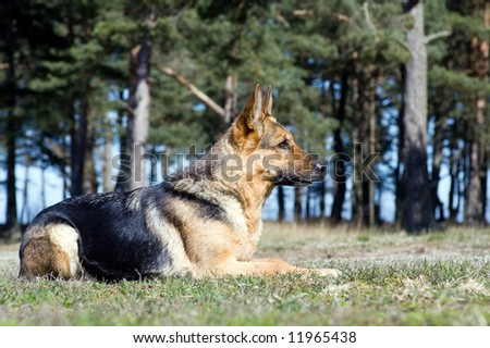 Germany sheep-dog laying on the grass