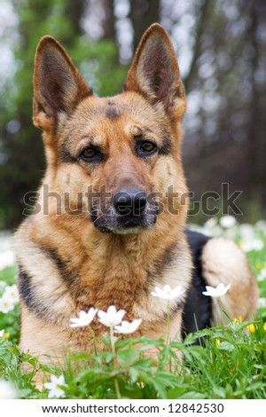 Germany sheep-dog laying with white spring flowers