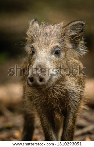 Germany young Wild pig boar in forest watching #1310293051