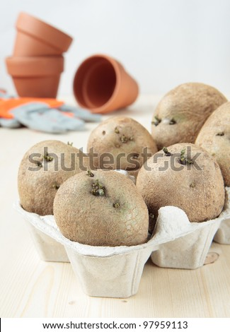 Germinate potatoes in the egg carton to plant - stock photo