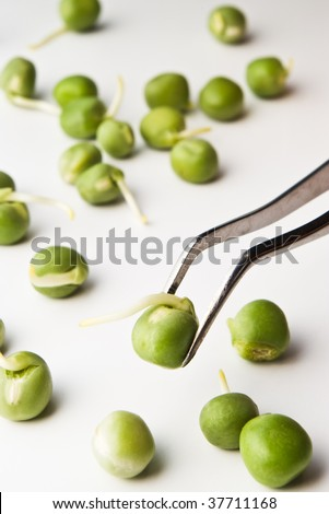 germinated pea on tweezers - research concept