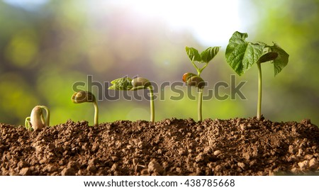 germinated seeds sequence and growth of bean plants #438785668