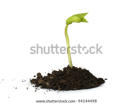 Germinating bean on white background