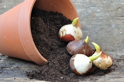 germination of tulip bulbs in a pot of potting soil overturned