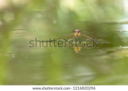 Gerris lacustris, commonly known as the common pond skater or common water strider. Insect in its nature habitat.