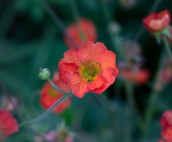 Geum flower ('Scarlet Tempest')  it bears large, double, scarlet flowers with an apricot flush, from mid spring. It then flowers again, with slightly smaller flowers, from midsummer to autumn.