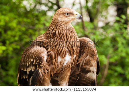 Ggolden eagle Aquila Chrysaetos. It is one of the best-known birds of prey