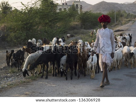 GHANERAO,  INDIA - MARCH 10: a shepherd , wearing a red turban, is leading his animals along the road during the summer transhumance, on March 10, 2013, in Ghanerao, India.