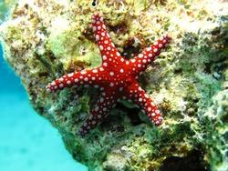 Ghardaqa sea star (Fromia ghardaqana) Taking in Red Sea, Egypt.