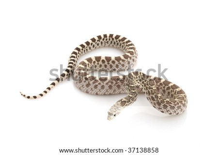 Ghost Bull Snake (Pituophis catenifer sayi) on white background.