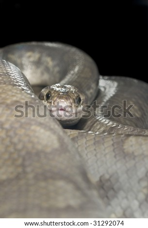 Ghost Colombian Raindow Boa staring at viewer