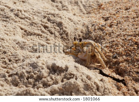 Ghost crab keeping guard at the entrance of his hole in the sand at the beach.