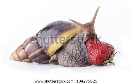Giant African Land Snail Anatomy Lektonfo