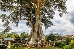 Giant ancient Cotton tree or Kapok (Ceiba pentandra) in Magra village, Tabanan, Bali, Indonesia.