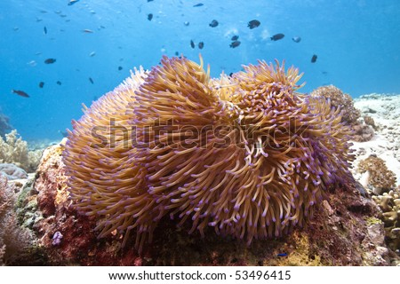 Giant anenome in shallow water off the coast of Bali