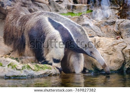 Giant anteater (Myrmecophaga tridactyla), also known as the ant bear. Wildlife animal