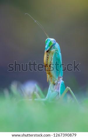 giant Asian shield mantis - Rhombodera basalis #1267390879