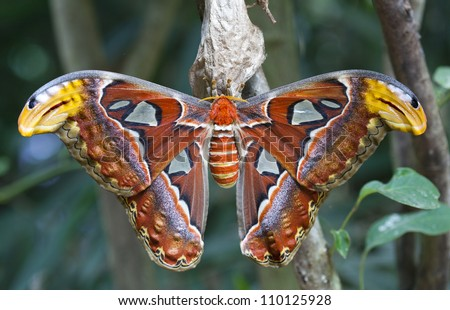 Giant atlas moth is a butterfly coming out only at night