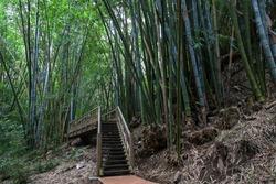 Giant bamboo (Dendrocalamus giganteus), bamboo grove in the botanical garden Jardin de Mascarin, near Saint Leu, Réunion