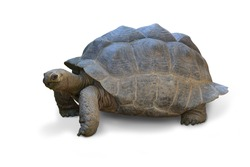 Giant Big Galapagos island Earth Tortoise Turtle on the Floor old tortoise Isolated on white background. This has clipping path.