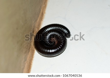 giant black African centipede, millipede in home #1067040536