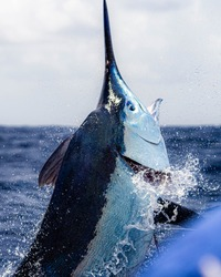 Giant Black Marlin caught off cairns