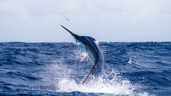 Giant Black Marlin Jumping out of the Water