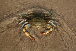 Giant blue crab on the sandy shore of the Mediterranean Sea. Female crab hunting on the shore