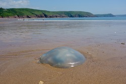 Giant blue jellyfish washed up on Welsh beach.